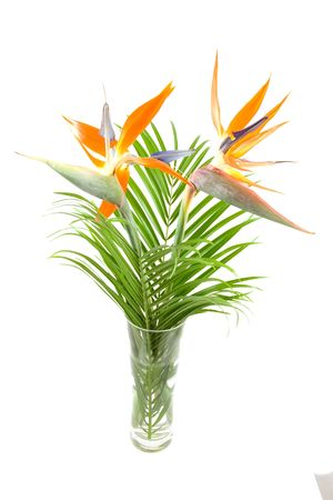 bloom bird of paradise: Strelitzia also known as bird of paradise flower in vase over white background Stock Photo