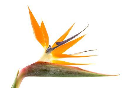 Strelitzia also known as bird of paradise flower in closeup white background photo