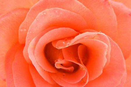 beautiful pink rose with water drops in closeup photo