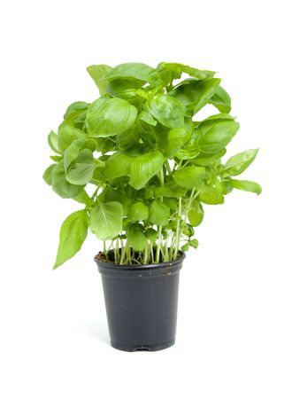 fresh basil plant in black pot isolated on white background