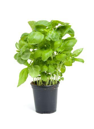 basilico: planta de albahaca fresca en olla negra aislado sobre fondo blanco Foto de archivo