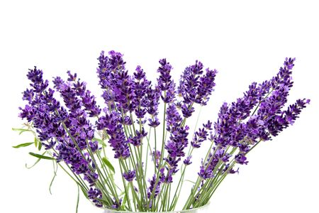 plucked: Plucked fresh lavender in closeup over white background Stock Photo