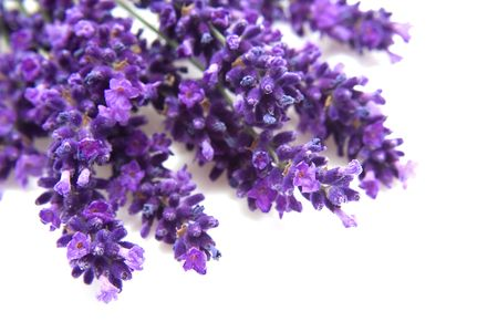 lavender in closeup over white background