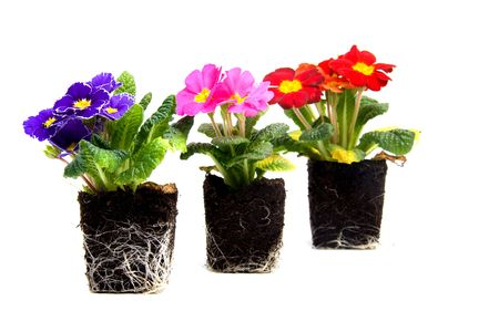 Colorful primula flower in garden soil over white background photo