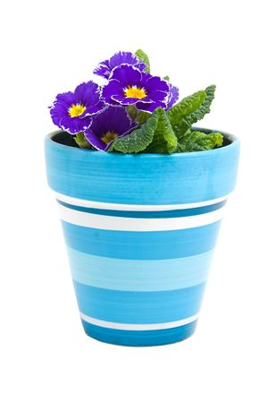 Purple Primula flower in blue pot isolated on white background Stock Photo - 6551016