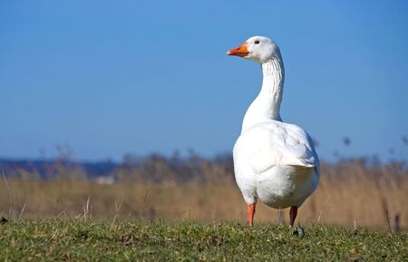 White goose against blue sky looking in camera Stock Photo - 6619115