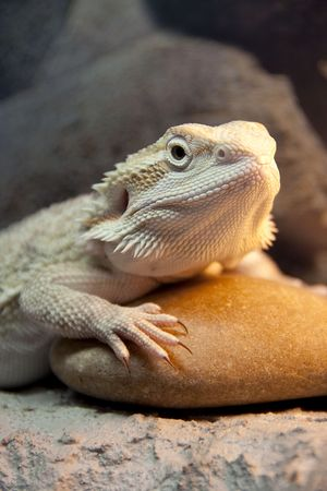 Bearded Dragon reptile in yellow lights getting warm Stock Photo