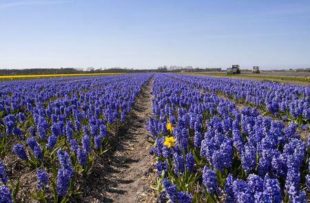 bloembollenvelden: Nederlandse landschap: bollenvelden met paarse bloemen hyacint