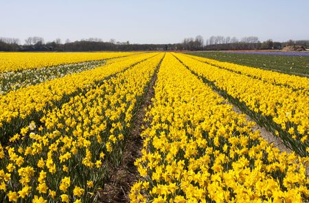 bloembollenvelden: Nederlandse landschap: bollenvelden met Gele daffodil bloemen