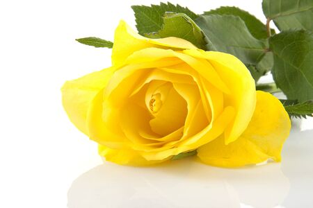 One yellow rose flower in closeup over white background