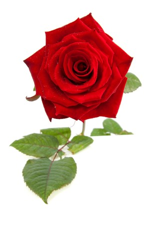 Beautiful red rose in closeup with water drops over white background