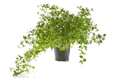 fresh thyme herb in pot over white background