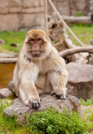 barbary ape: portrait of Barbary ape in nature