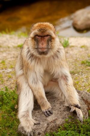 barbary ape: portrait of Barbary ape in closeup Stock Photo