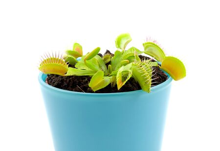 Blue pot with Dionaea, flytrap, isolated on white background Stock Photo - 7212914