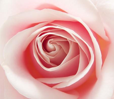 macro of the heart of beautiful pink rose