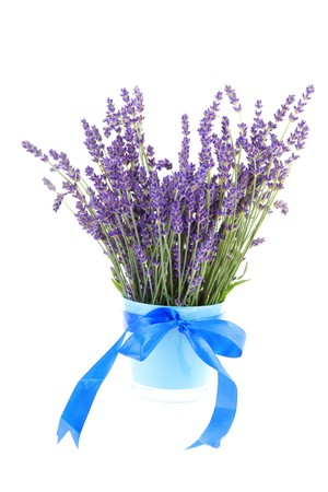 plucked: bouquet of plucked lavender in pot with blue bow isolated on white background