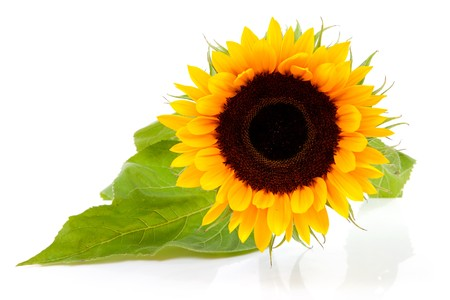 One beautiful sunflower in closeup isolated on white background
