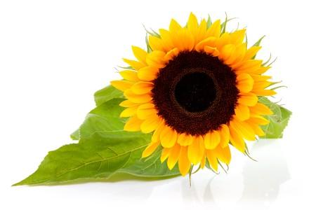semillas de girasol: Un girasol hermoso en portarretrato aislado sobre fondo blanco  Foto de archivo