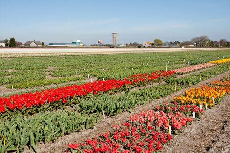 Dutch landscape, bulb fields with white tulips  photo