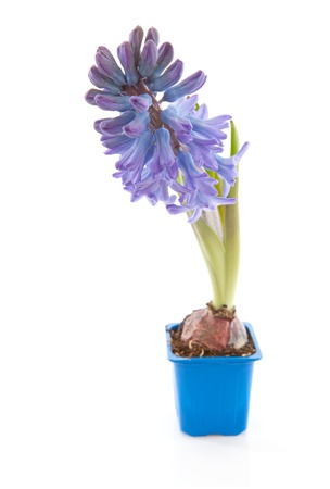 hyacinthus: Purple hyacinthus flower in closeup over white background