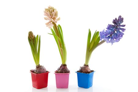 hyacinthus: Tres coloridas flores Jacinto sobre fondo blanco
