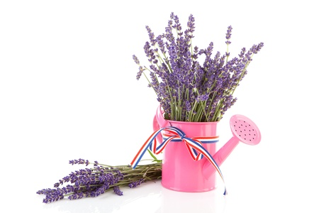plucked: Pink watering can with plucked lavender over white background