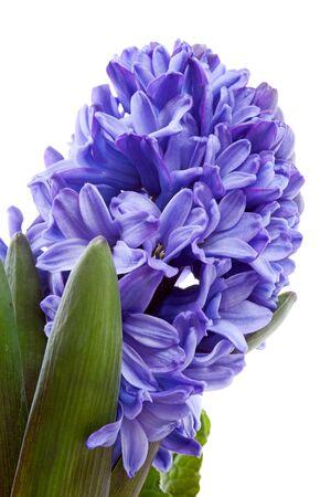hyacinthus: Flor morada de Jacinto en detalle sobre fondo blanco