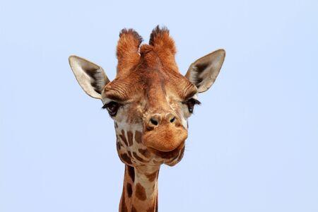 Giraffe looking into camera over blue sky photo