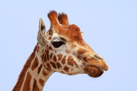 looking into camera: Giraffa esaminando la fotocamera su cielo blu