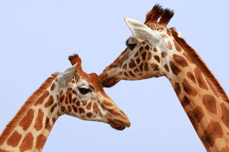 Two giraffe heads in closeup against blue sky photo