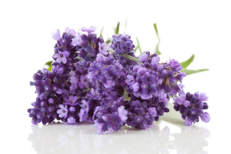 Closeup of lavender flowers over white background photo