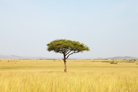 landscape with Acacia tree in Africa