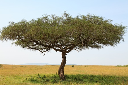 acacia tree: landscape with Acacia tree in Africa