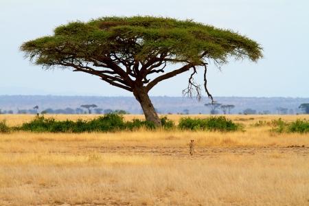paisaje con árboles de Acacia y cheetah en África