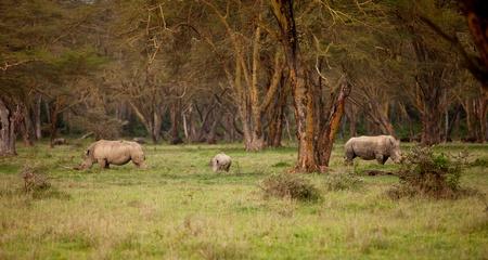 nakuru: Couple of white Rhino in Lake Nakuru Africa