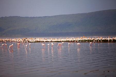 nakuru: pelicans and flamingos in Lake Nakuru Africa