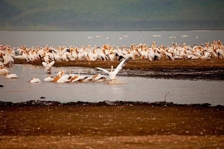 nakuru: pelican birds in lake Nakuru, Kenya Africa