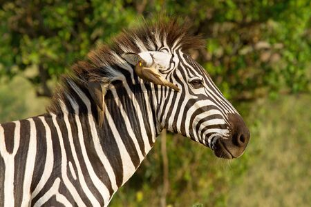 closeup of African zebra with bird in ear photo