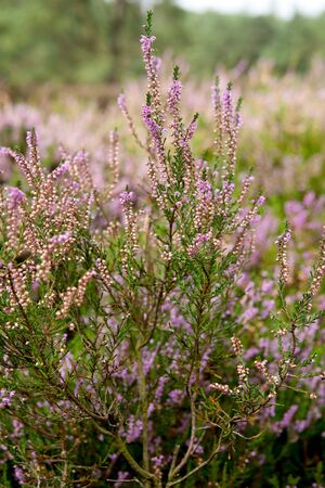 View over Dutch Pink erica heath in closeup   photo