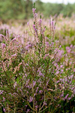erica: View over Dutch Pink erica heath in closeup   Stock Photo