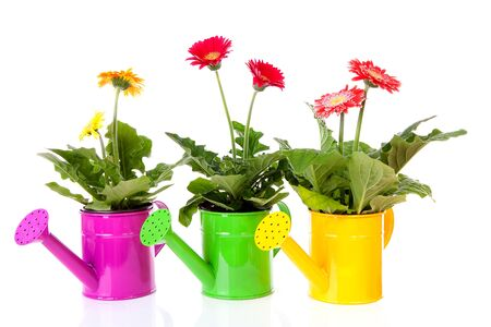 three objects: Three watering cans with Gerber flowers over white background