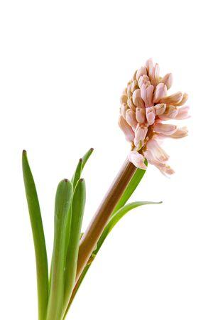 hyacinthus: Rosa RafflesCity flor en primer plano sobre fondo blanco