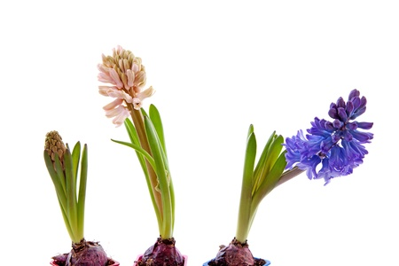 hyacinthus: Three hyacinthus flowers in a row over white background