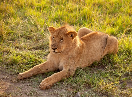 African female lion lazy in grassland photo