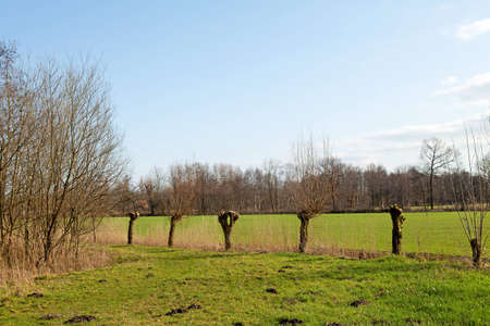 pollard: Typical Dutch landscape with pollard willow trees on sunny day Stock Photo