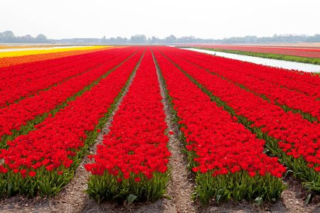 Typical Dutch bulb field with red tulips photo