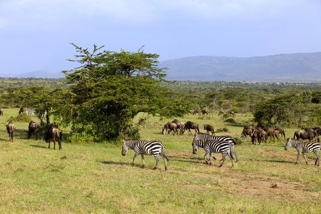 Zebra and wildebeest in Masai Mara Africa photo