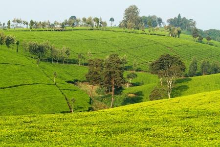 View over tea plantation in Kenya Africa Standard-Bild