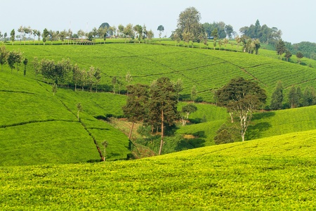 View over tea plantation in Kenya Africa Stock Photo